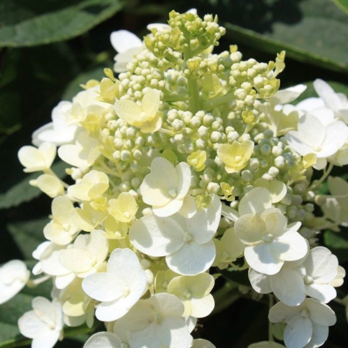 #2s Hydrangea pan Baby Lace/Panicle Compact White