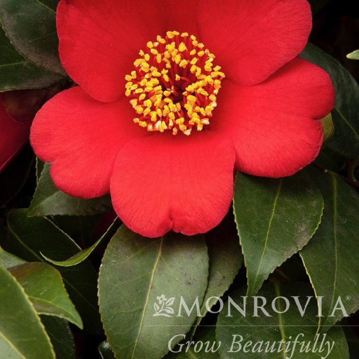 #1 Camellia j Springs Promise/ Rose-red  No Warranty
