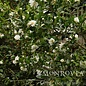 #1 Camellia Winters Snowman/White No Warranty