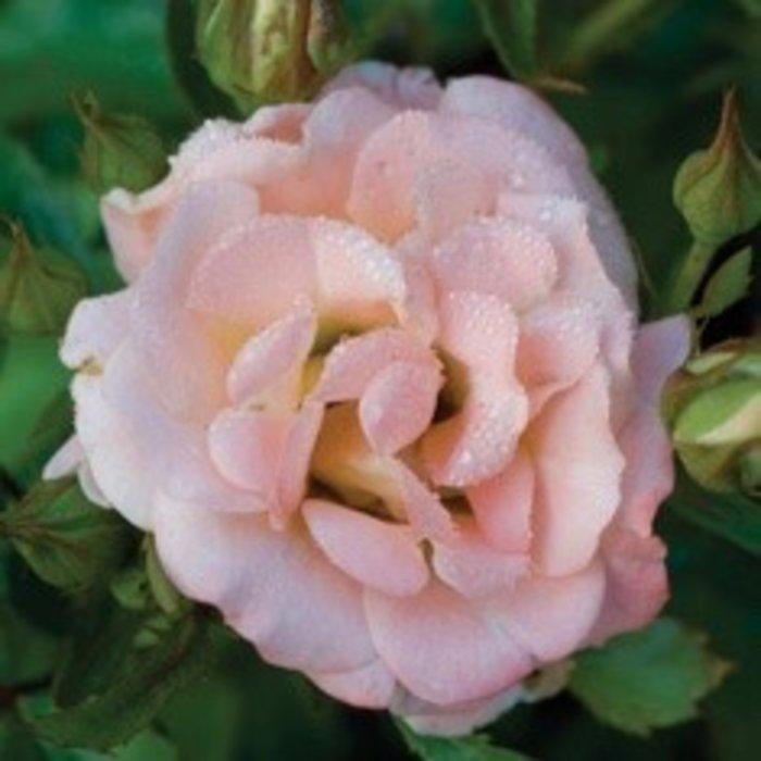 #2 Rosa 'Meiggili'/Peach Dwarf Drift Shrub Rose NO WARRANTY