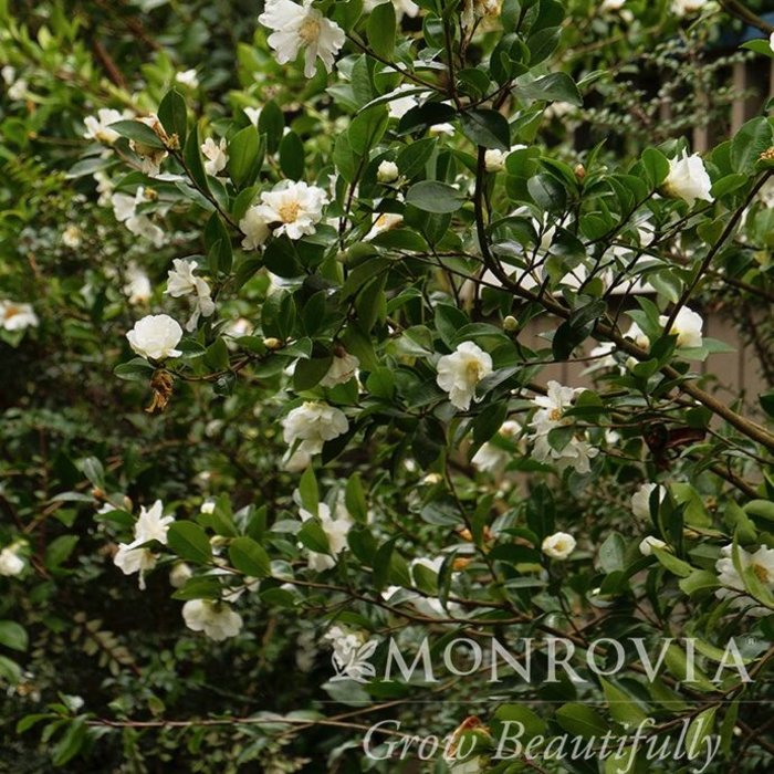 #3 Camellia x Winters Snowman/White No Warranty