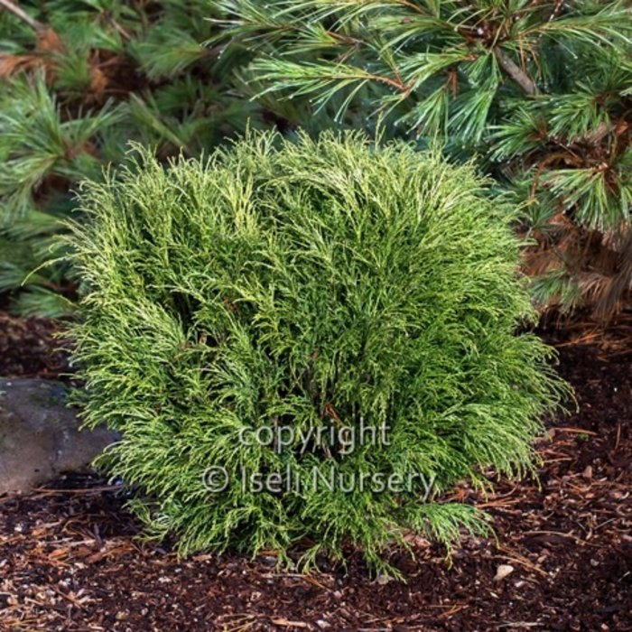 #1 Chamaecyparis pis Angel Hair/Threadleaf Falsecypress