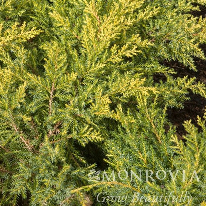 #1 Juniperus chin Daubs Frosted/Chinese Juniper Spreading