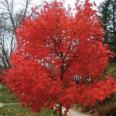 15 Acer Rubrum X Freemanii Autumn Blaze Red Maple Bates Nursery Garden Center