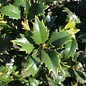 #30 Ilex x Magiana/Acadiana Holly Red Hybrid