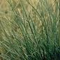 #3 Grass Miscanthus sine Adagio/Maiden Dwarf
