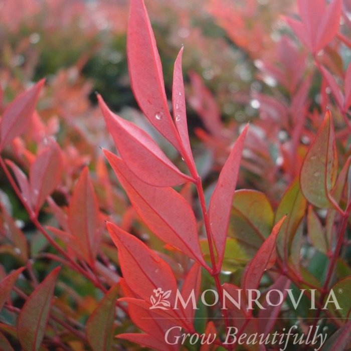 #1 Nandina d. 'Gulf Stream'/Heavenly Bamboo