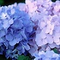 #1 Hydrangea mac The Original (Endless Summer)/Bigleaf/Mophead Repeat Blue or Pink