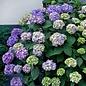 #1 Hydrangea mac Bloomstruck (Endless Summer)/Bigleaf/Mophead Repeat Rose-pink or Purple