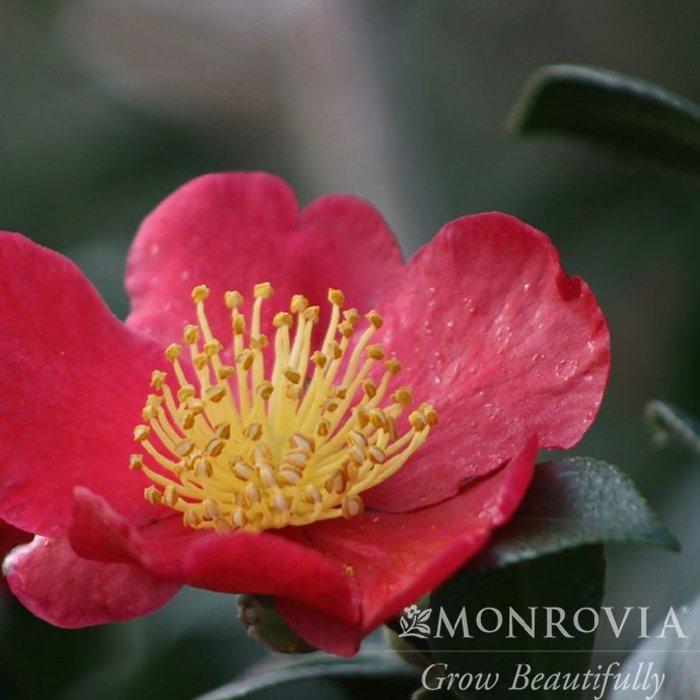 #3 Camellia s Yuletide/Single Red No Warranty