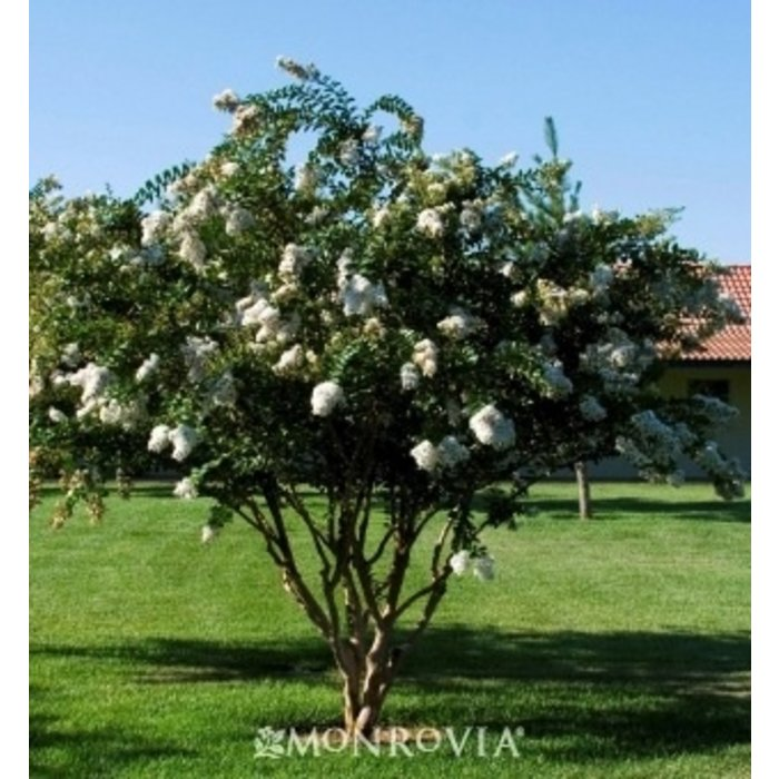 #5 Lagerstroemia x Acoma/Crape Myrtle Semi-Dwarf White