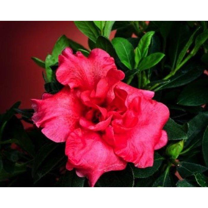 #3 Azalea Red Magnificence/Rebloom