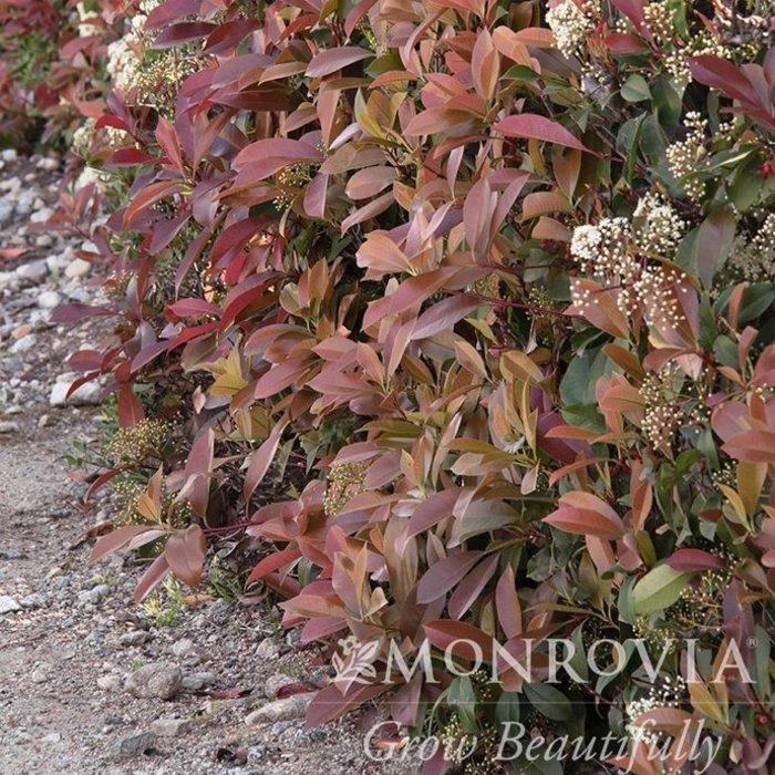 #3 Photinia x fraseri/Red Tip