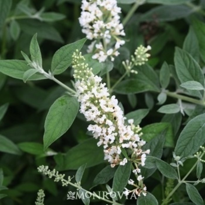 #2s Buddleia Ice Chip/Dwarf Butterfly Bush white