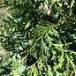 #7 Thuja x Green Giant/Arborvitae Pyramidal