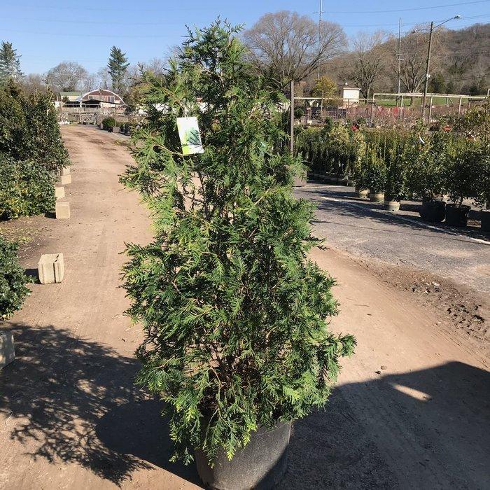 #15 Thuja x Green Giant/Arborvitae Pyramidal