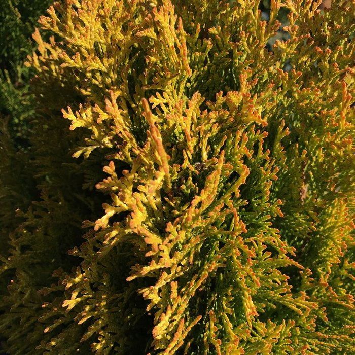 #1 Thuja occ Janed Gold/Highlights Arborvitae Pyramidal