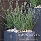 #1 Lavandula x intermedia 'Phenomenal'/Lavender No Warranty