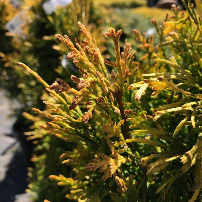 #1 Thuja plicata Daniellow/Golden Spire Arborvitae Columnar