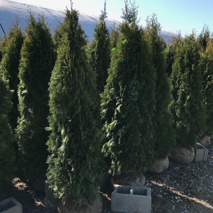 5-6' Thuja occ Smaragd/Emerald Green Arborvitae Columnar NO WARRANTY