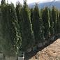 6-7ft Thuja occ Smaragd/Emerald Green Arborvitae Columnar NO WARRANTY