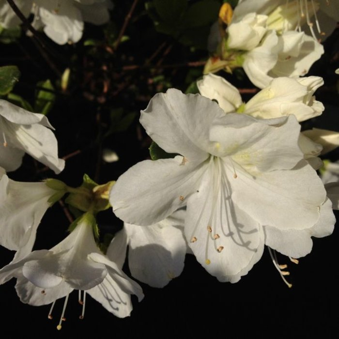 #3 Azalea Encore Autumn Chiffon/Repeat