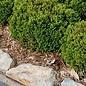 #3 Buxus x Green Velvet/Boxwood