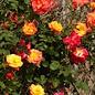 #3 Rosa Joseph's Coat/Climbing Rose NO WARRANTY