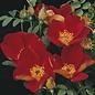 #3 Rosa foetida bicolor/Austrian Copper Rose NO WARRANTY