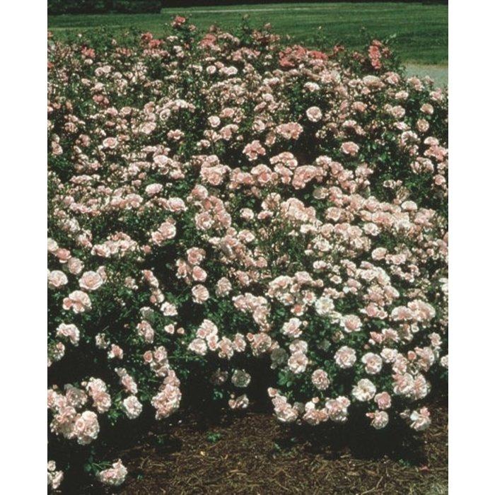 #3 Rosa 'MEIdomonac'/Bonica Shrub Rose NO WARRANTY