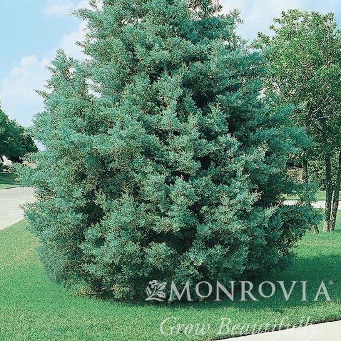 #10 Cupressus arizonica var. glabra Blue Pyramid/Blue Arizona Cypress