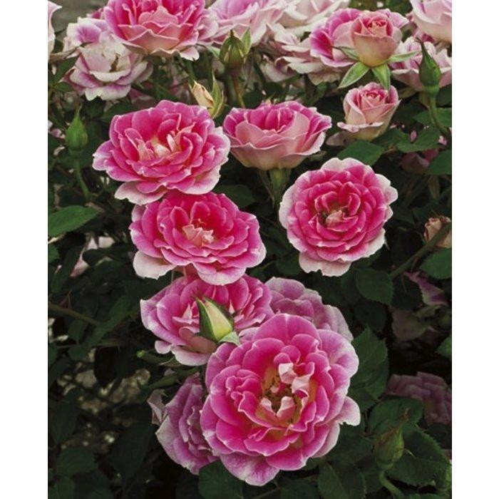 #2 Rosa 'WEKtebodoko'/Whimsy Miniature Rose NO WARRANTY