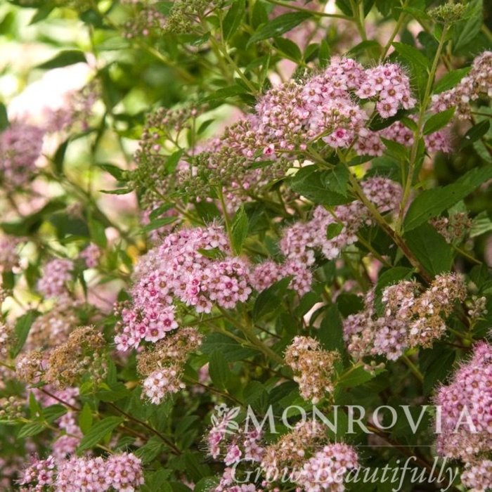 #3 Spiraea japonica 'Little Princess'/Rose-Pink