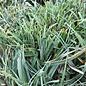 #1 Grass Carex glauca (flacca)/Blue Sedge
