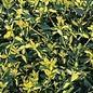 #3 Euonymus j Aureo Marginatus/Golden
