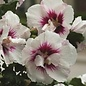 #3 Hibiscus syr 'Helene'/Rose of Sharon/Althea