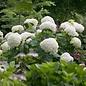 #3 Hydrangea arborescens Incrediball/Smooth White (Annabelle Type)