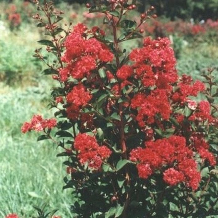 #15 Lagerstroemia Whit VI/Red Rocket Crape Myrtle Ruby-red