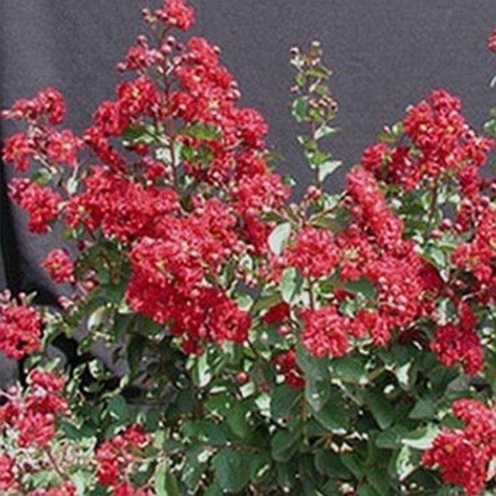 #3 Lagerstroemia Whit VII/Red Siren Crape Myrtle Oxblood-red