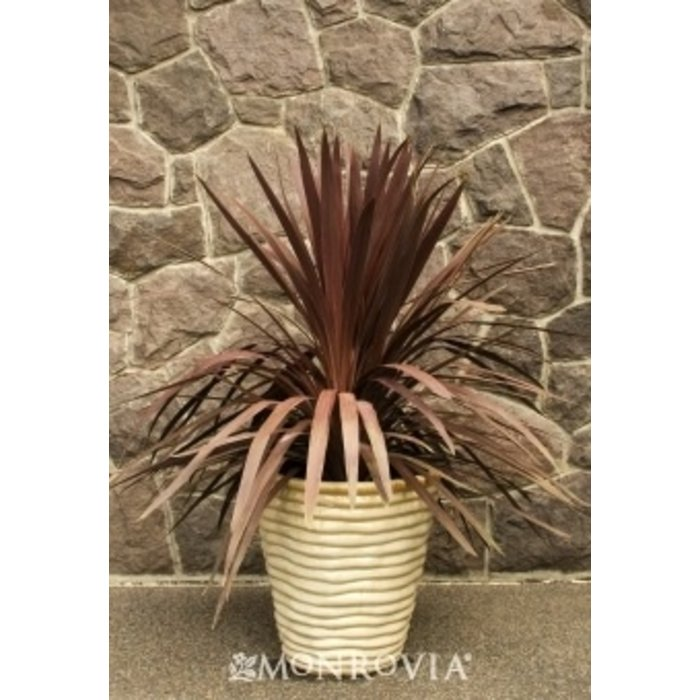 Tropical #1 Cordyline 'Red Star'/Dracaena Palm
