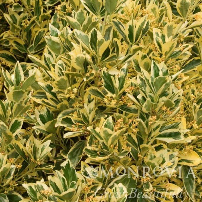 Topiary #5 Cone Euonymus Silver King/Variegated
