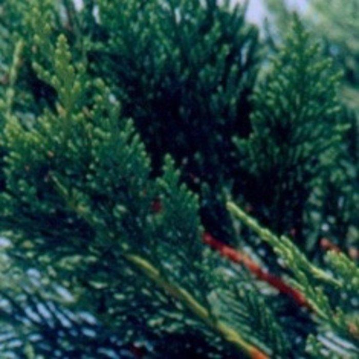 #7 Cupressocyparis x leylandii/Leyland Cypress