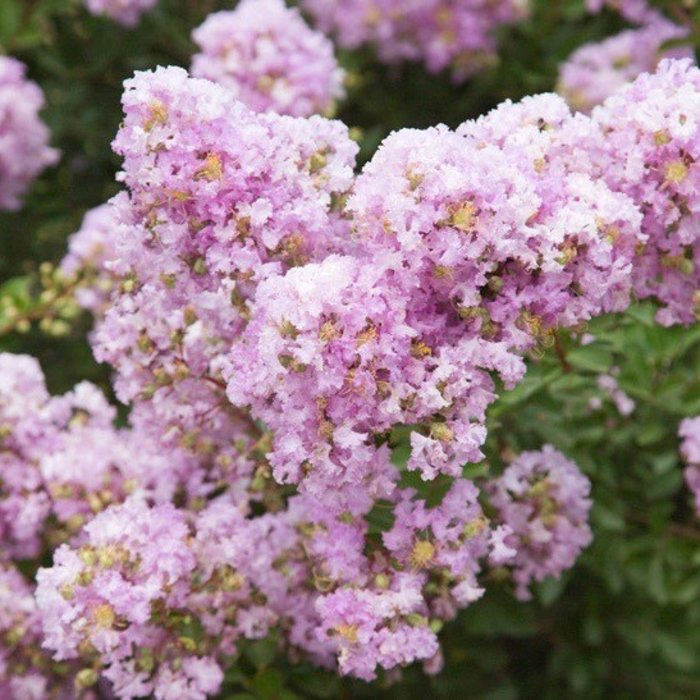 #2 Lagerstroemia Early Bird Lavender/Crape Myrtle Dwarf Light-lavender