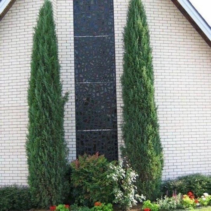#7 Juniperus virg Taylor/Juniper Upright