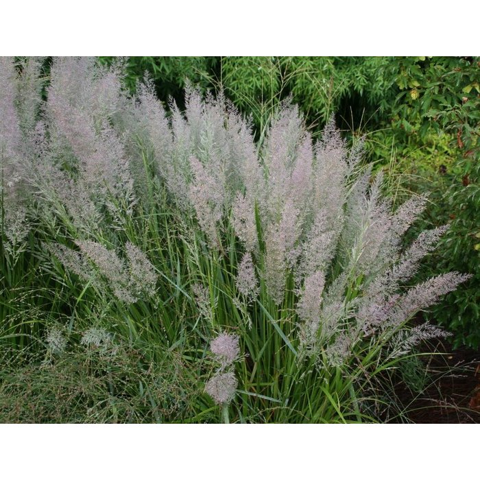 #1 Grass Calamagrostis brachytricha/Korean Feather Reed