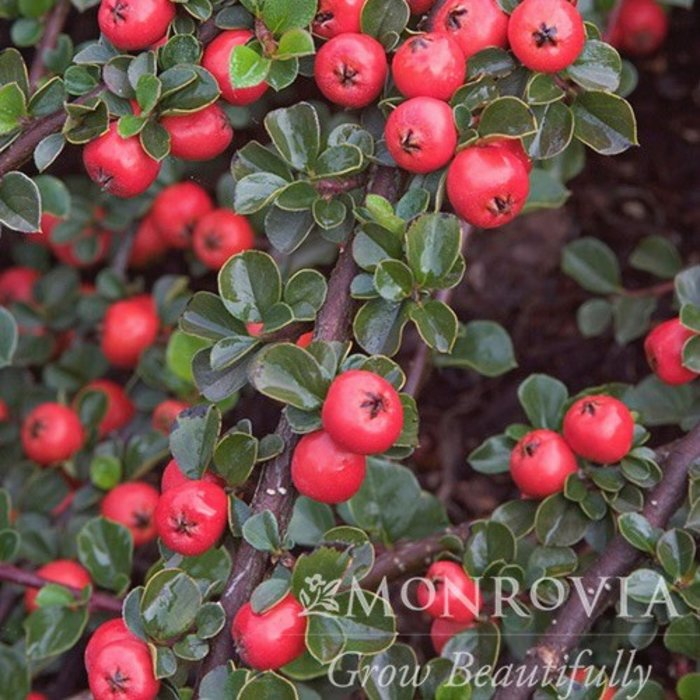 Topiary Trellis #7 Cotoneaster apic/Cranberry