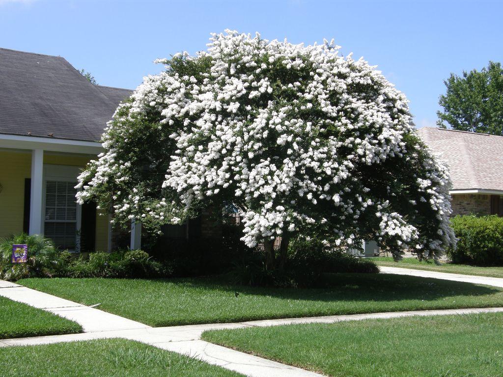 7 Lagerstroemia X Natchezcrape Myrtle White Bates Nursery
