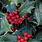 #30 Ilex x Conin/Robin Holly Red Hybrid