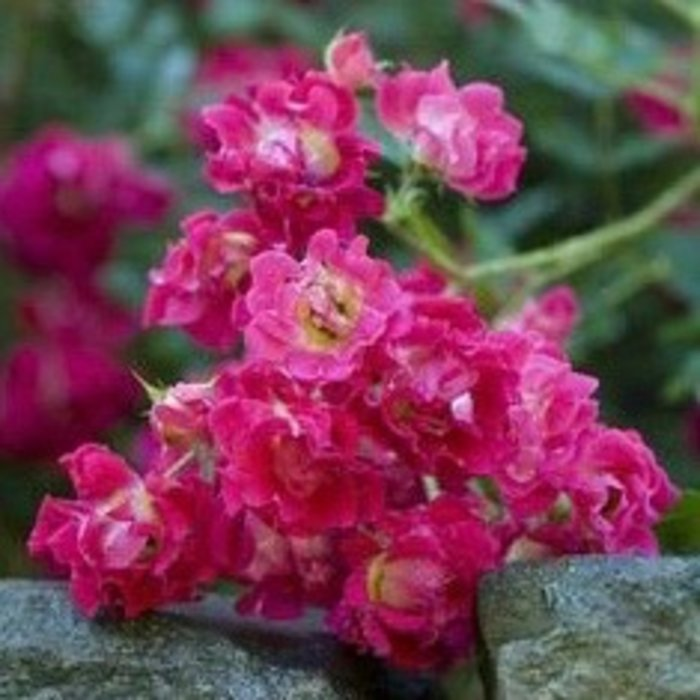 #3 Rosa 'Meigalpio'/Red Drift Dwarf Shrub Rose NO WARRANTY
