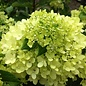 #2 Hydrangea pan Little Lime/Panicle White